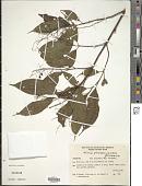 view Miconia pusilliflora Triana digital asset number 1