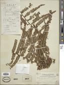 view Diplopterygium glaucum (Thunb. ex Houtt.) Nakai digital asset number 1