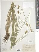 view Carex albolutescens Schwein. digital asset number 1