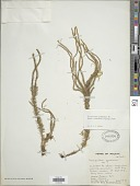 view Phlegmariurus squarrosus (G. Forst.) Á. Löve & D. Löve digital asset number 1