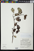 view Dalbergia candenatensis (Dennst.) Pr. digital asset number 1