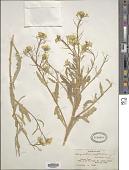 view Sterigmostemon sulphureum var. sulphureum digital asset number 1