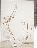 view Corynephorus divaricatus (Pourr.) Breistr. digital asset number 1