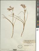 view Ixiolirion montanum Herb. digital asset number 1