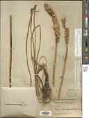 view Schoenocaulon officinale (Schltdl.) A. Gray ex Benth. digital asset number 1
