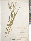 view Homolepis isocalycia (G. Mey.) Chase digital asset number 1
