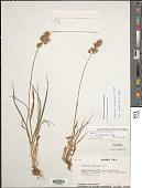 view Sibirotrisetum sibiricum (Rupr.) P. Barberá digital asset number 1