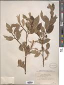 view Salix pentandra L. digital asset number 1