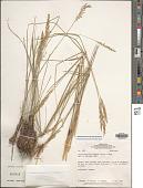 view Anthaenantia lanata (Kunth) Benth. digital asset number 1