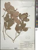 view Byrsonima bucidaefolia Standl. digital asset number 1