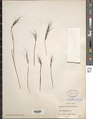 view Elymus longiaristatus (Boiss.) Tzvelev digital asset number 1