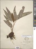 view Elaphoglossum tambillense (Hook.) T. Moore digital asset number 1
