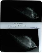 view Pseudodax moluccanus digital asset number 1