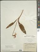view Erythronium americanum Ker Gawl. digital asset number 1