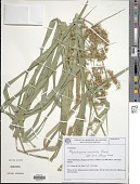 view Rhynchospora coriifolia Boeckeler digital asset number 1