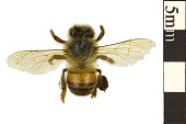 view European Honey Bee, Potter Wasp digital asset number 1