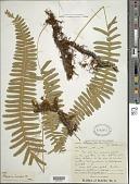 view Serpocaulon lasiopus (Klotzsch) A.R. Sm. digital asset number 1