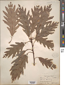 view Quercus x saulii C. K. Schneider digital asset number 1