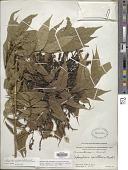 view Choerospondias axillaris (Roxb.) B.L. Burtt & A.W. Hill digital asset number 1