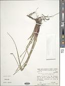 view Eleocharis montana (Kunth) Roem. & Schult. digital asset number 1