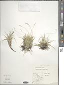 view Carex concinna R. Br. digital asset number 1