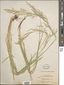 view Deschampsia cespitosa (L.) P. Beauv. digital asset number 1