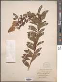 view Spiraea salicifolia L. digital asset number 1