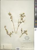 view Zygophyllum sp. digital asset number 1