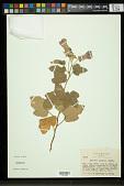 view Hibiscus lavateroides Moric. ex Ser. digital asset number 1