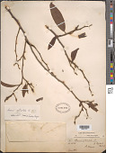 view Annona reticulata L. digital asset number 1