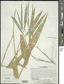 view Guadua angustifolia var. bicolor Londoño digital asset number 1