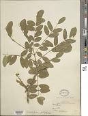 view Caesalpinia platyloba S. Watson digital asset number 1