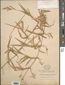 view Homolepis aturensis (Kunth) Chase digital asset number 1
