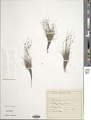 view Cyperus neochinensis (Tang & F.T. Wang) Bauters digital asset number 1