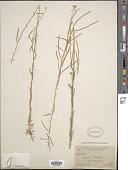 view Arabis holboellii var. retrofracta Rydb. digital asset number 1