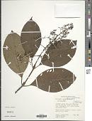 view Palicourea acetosoides Wernham digital asset number 1