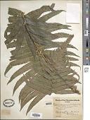 view Cyclosorus sandwicensis Copel. digital asset number 1