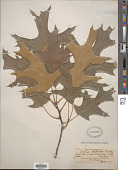 view Quercus shumardii Buckley digital asset number 1