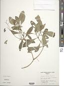 view Lipochaeta succulenta (Hook. & Arn.) DC. digital asset number 1