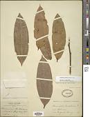 view Psammisia urichiana (Britton) A.C. Sm. digital asset number 1