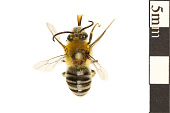 view Squash Bee digital asset number 1