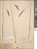 view Calamagrostis neglecta subsp. inexpansa (A. Gray) Tzvelev digital asset number 1