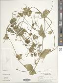 view Rytidostylis carthagenensis (Jacq.) Kuntze digital asset number 1