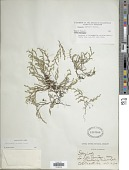 view Selaginella sartorii Hieron. digital asset number 1