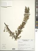 view Baccharis leptocephala DC. digital asset number 1