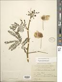view Zapoteca tetragona (Willd.) H.M. Hern. digital asset number 1