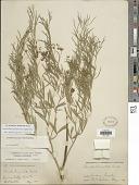 view Ladeania lanceolata (Pursh) A.N. Egan & Reveal digital asset number 1