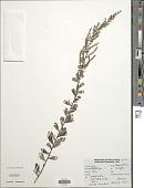 view Artemisia vulgaris L. digital asset number 1