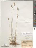 view Poa pratensis subsp. agassizensis (B. Boivin & D. Löve) Roy L. Taylor & Macbryde digital asset number 1