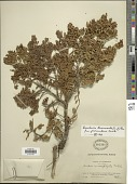 view Baccharis tricuneata f. procumbens Cuatrec. digital asset number 1